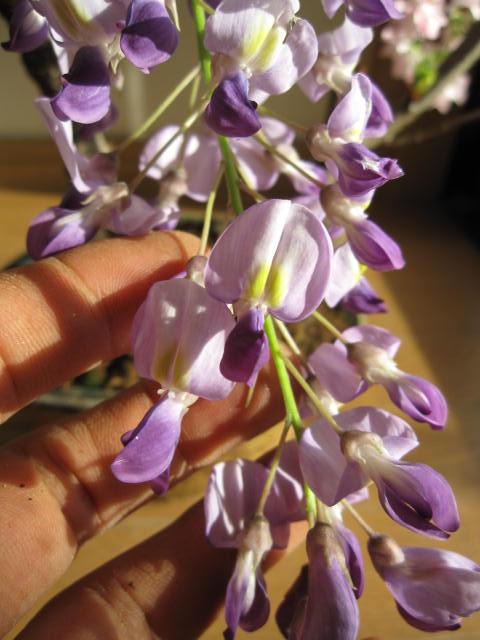 父の日ギフト 2020年4月開花予定藤と桜の寄せ植え盆栽藤と桜の開花は四月中頃より開花します。【藤盆栽】手作り信楽鉢入り