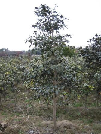 椿庭木都鳥椿 ツバキ  大苗   樹齢約20年