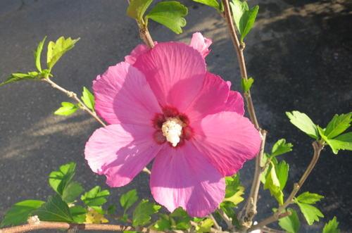 中国・インド原産で韓国の国花でも あります。古典の時代ムクゲは「朝顔」とも呼ばれていました。 2021年開花ムクゲ 苗  アフロダイト槿苗木 80センチ前後