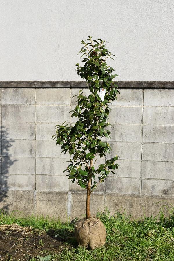 Cobonsai Camellia Garden Tree Around 120 Centimeters In Height