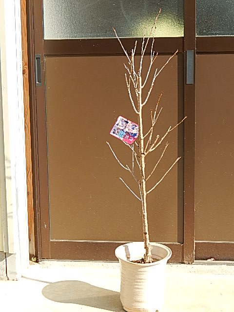 2020年3月中頃開花の啓翁桜【鉢植えでお花見桜 】【桜】 信楽鉢入り  自宅のシンボルツリーに桜