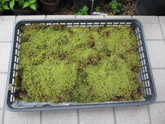 寄せ植えや苔玉の素材としてもお使いください 送料無料砂ゴケ 苔   1トレー コケ