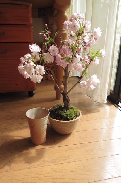 2020年4月中頃開花予定八重桜盆栽盆栽 桜:桜のお花見 ミニ盆栽桜 のリビングで お花見ができるさくら盆栽 楊貴妃桜八重桜 盆栽