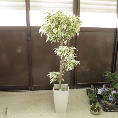 日本限定 ベンジャミン スターライト贈り物にも最適 贈り物ギフト 観葉植物鉢植え ギフトに最適 完全送料無料 植物が一つあるだけでお部屋がもっといい感じにベンジャミンスターライトリビングの観葉植物にお勧めです