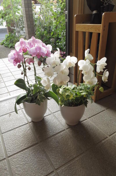 Cobonsai in midi phalaenopsis section 2 pots joyful of potted in midi phalaenopsis section 2 pots joyful of potted flowers red and white with pink and white phalaenopsis orchids celebration mightylinksfo