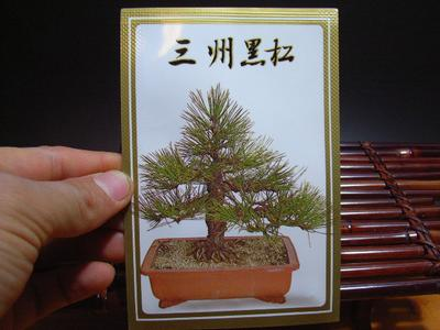 物种黑松树盆景物种三河黑松树盆景种子