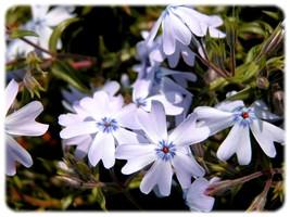 芝桜(シバザクラ)オーキントンブルーアイ 80P