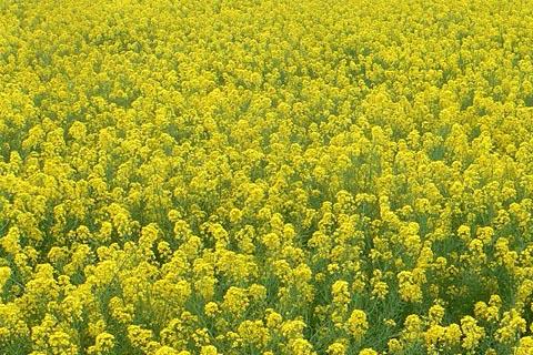 大規模播種向け 菜種 付与 種子 1kg 約1.5リットル 緑肥 なのはな 菜の花 ナタネ 超人気 専門店 なたね アブラナ 景観用に