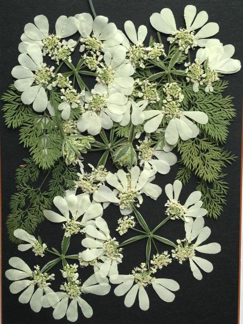 押し花材料 押し花素材 押し花アート ハンドメイド 手作り 激安セール 選択 K-34 押し花 オルレアレース 花5枚 葉5枚 つぼみ2輪
