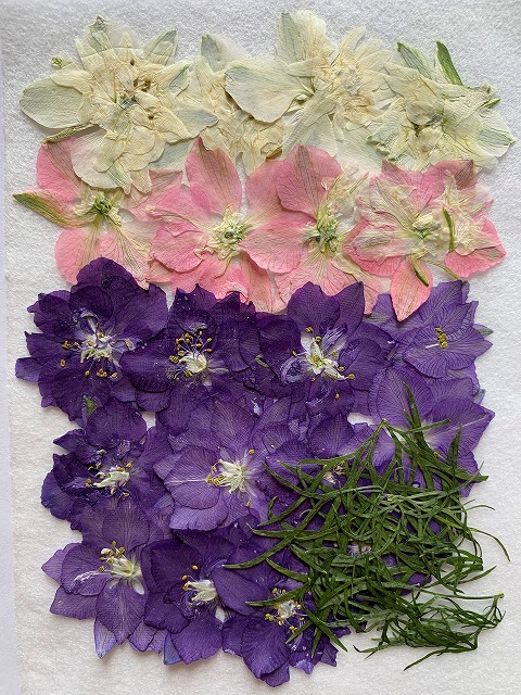 押し花材料 押し花素材 押し花アート 本物◆ 格安激安 ハンドメイド 手作り 押し花 千鳥草 20枚 T-19