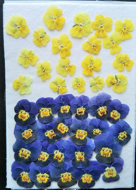 押し花材料 押し花素材 押し花アート ハンドメイド 超定番 手作り 押し花 小 AL完売しました。 T-44 ビオラ 40枚