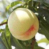 岡山白桃「水蜜桃・白鳳種」 【ロイヤル】 9~12個 3kg 糖度12度以上