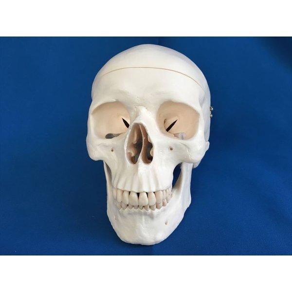 ホモサピエンス 頭骨 レプリカ 樹脂製  スリービー・サイエンティフィック株式会社 中古未使用 b5