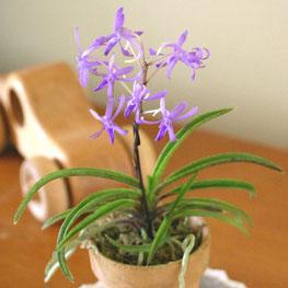 不像藍一樣的蘭藍月亮冬天開花的fuuran派交配的受歡迎的品種變得大而好幾年長大,能要。