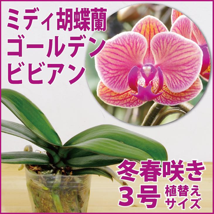 育て 胡蝶 方 の 蘭