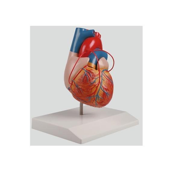 バイパス付心臓2分解モデル【人体模型】【教育】【教材】【医療】【シュミレーション】【病院】