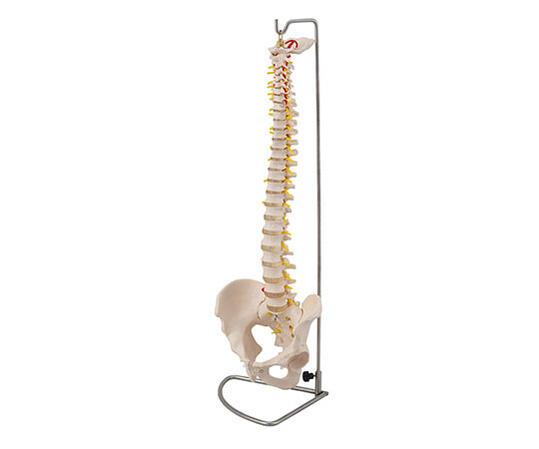 骨盤付き脊柱モデル【骨】【模型】【教育】【学校】【病院】【整形外科】【接骨院】【整骨院】