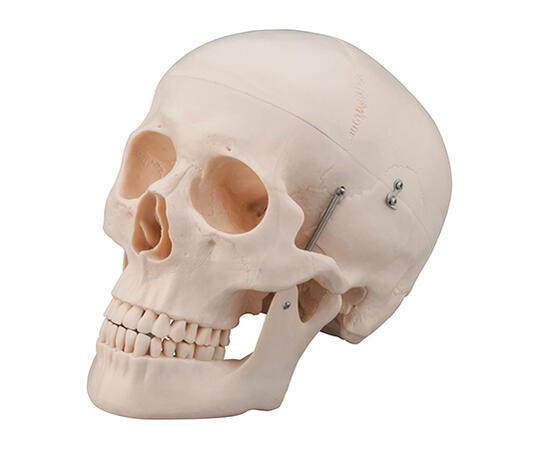 頭蓋3分割モデル【骨格】【骨】【模型】【教育】【学校】【病院】【頭部】【頭】