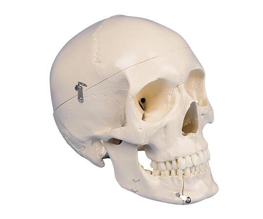 頭蓋骨モデル 歯科用【骨】【骨格】【頭部】【歯医者】【学校】【教育】【模型】