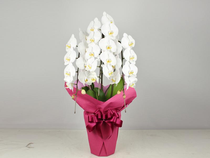 【配達限定】スタンダードの胡蝶蘭!3本立ちの大輪胡蝶蘭/リーズナブルで見ばえのよい胡蝶蘭です。