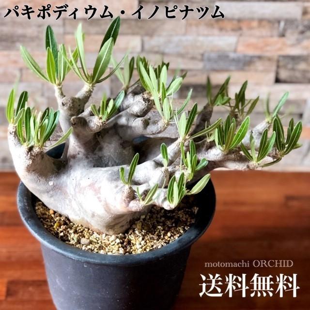 希少種 パキポディウム イノピナツム 塊根植物 コーデックス 人気人気急増 パキポディウム シリーズ 多肉植物 個性的 造形的 芸術的 インテリア プラ鉢 送料無料