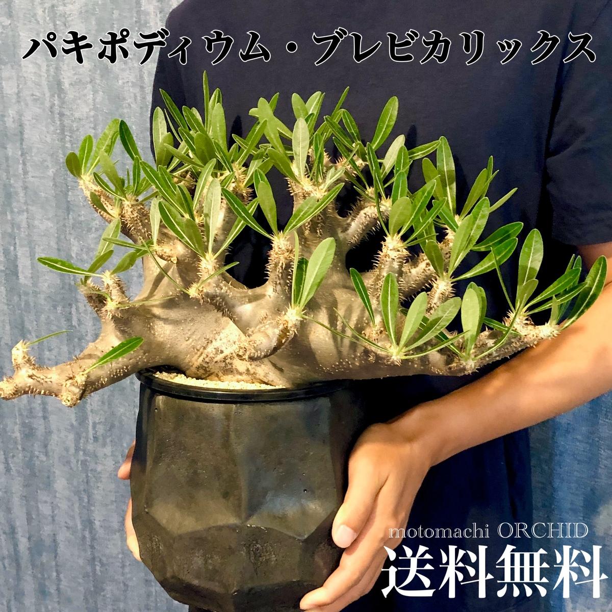 希少 パキポディウム ブレビカリックス 塊根植物 コーデックス 人気人気急増 シリーズ 多肉植物 観葉植物 個性的 造形的 芸術的 インテリア 陶器鉢 送料無料