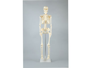ArTec/アーテック 人体骨格模型 85cm (008850)