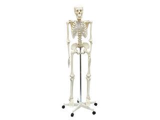 ArTec/アーテック 人体骨格模型 160cm (009975)