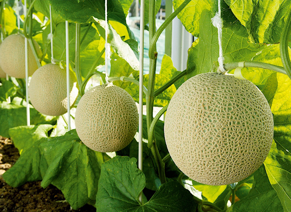 Big ball crown melon 1.4 kg *6 ball from Shizuoka