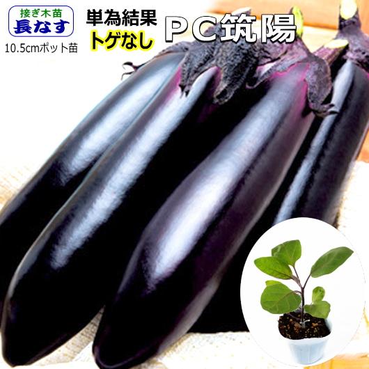 トゲなし 単為結果性 幅広い用途の長ナス 接ぎ木 なす 茄子 新着セール 10.5cmポット苗 PC筑陽 即出荷