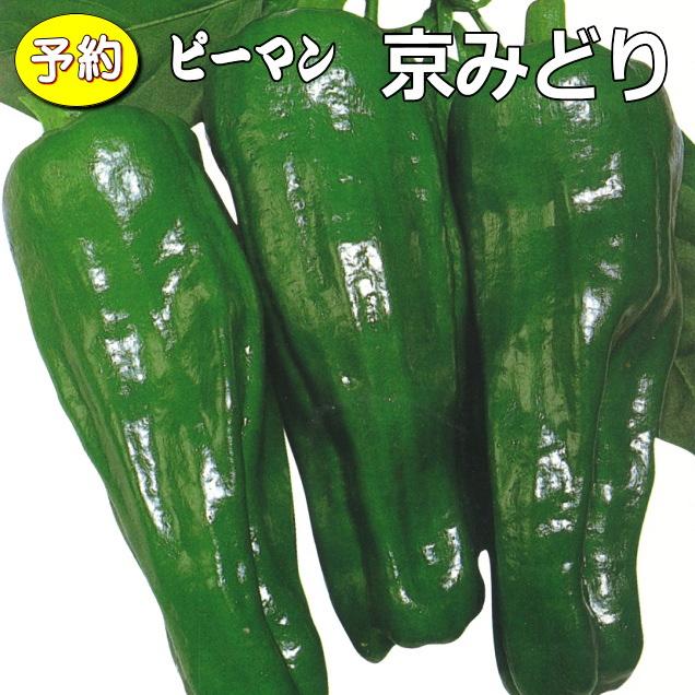 【予約】 実生 ピーマン 京みどり 20ポットセット 9cmpot苗