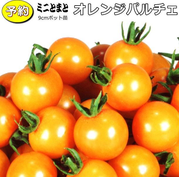 【予約】 実生 ミニトマト オレンジパルチェ 20ポットセット 9cmpot苗