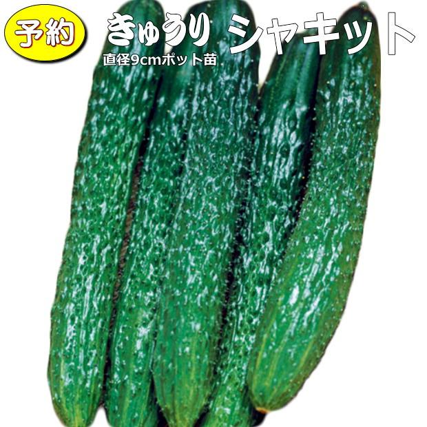 【予約】 実生 きゅうり シャキット 20ポットセット 9cmpot苗 胡瓜
