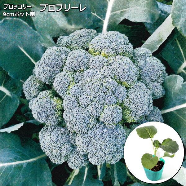 日本 長く伸びるスティック形の茎を楽しむ 茎ブロッコリー 店内限界値引き中 セルフラッピング無料 broccolo ブロフローレ 9cmポット苗