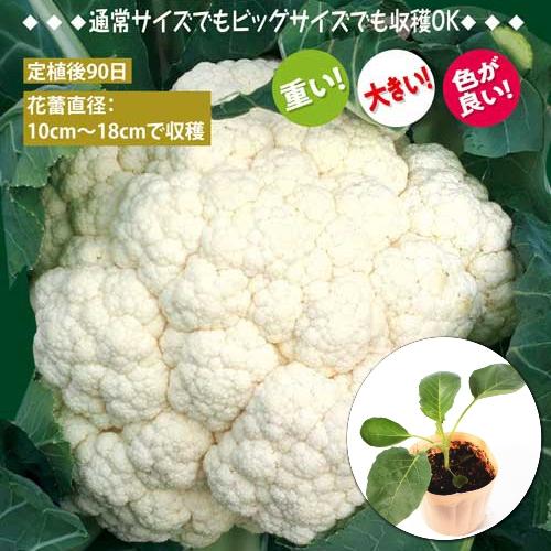収穫サイズ自在 カリフラワー 即納送料無料 リゾットビアンコ Risotto 9cmポット苗 実物 Bianco
