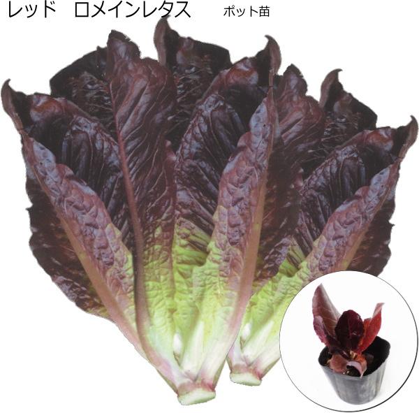 甘味が強い 白菜型 レタス 9cmポット苗 ランキングTOP5 レッドロメインレタス 赤葉 交換無料