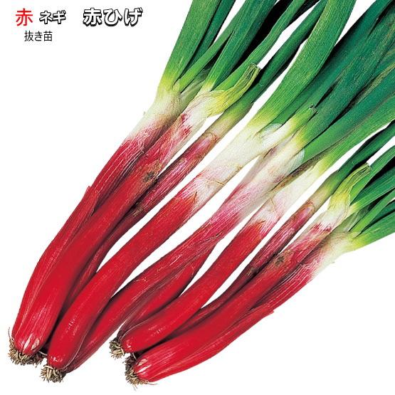 すき焼き 煮物 サラダ 本物 薬味に ねぎ ネギ 赤ひげ 30本 2020A W新作送料無料 抜き苗