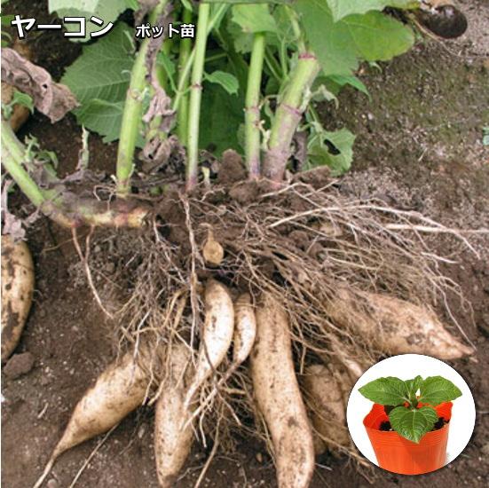 野菜の王様 ヤーコン 引き出物 9cmポット苗 新品 送料無料 Yacon