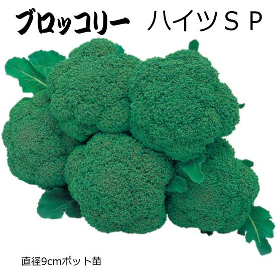 ☆送料無料☆ 当日発送可能 側枝花蕾もとれる多収種 ブロッコリー 9cmポット苗 超激得SALE ハイツSP