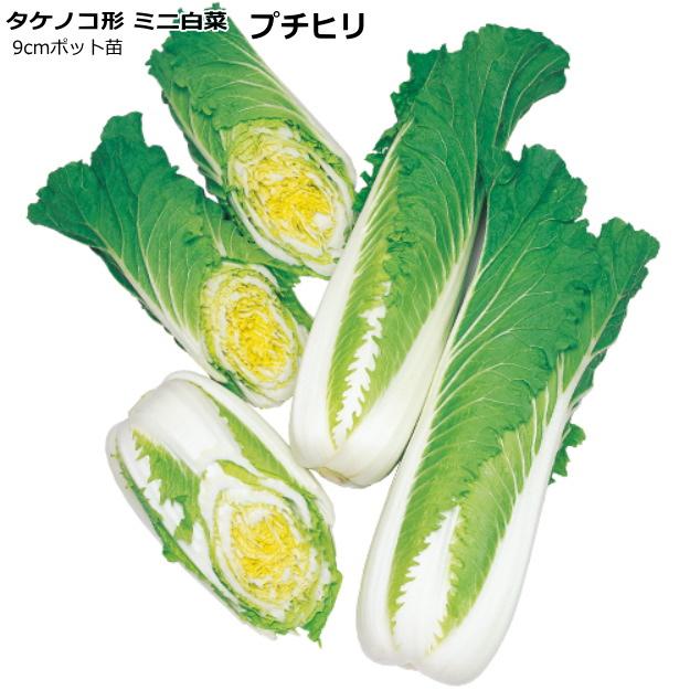タケノコ形極早生 ミニ 安心の実績 低廉 高価 買取 強化中 年内どり タケノコ形ミニ白菜 プチヒリ 9cmポット苗 ハクサイ