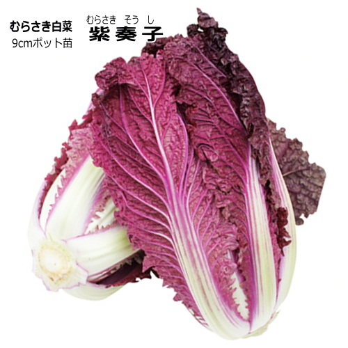 衝撃のパープル白菜軟らかくサラダ 炒め物に向く むらさき白菜 紫奏子 ムラサキそうし ハクサイ 9cmポット苗 公式 期間限定送料無料