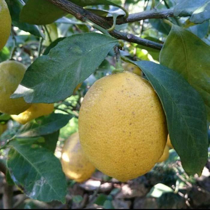 愛媛 中島産 レモン 訳あり 10kg ノーワックス 防腐剤不使用 サイズ不揃い 国産
