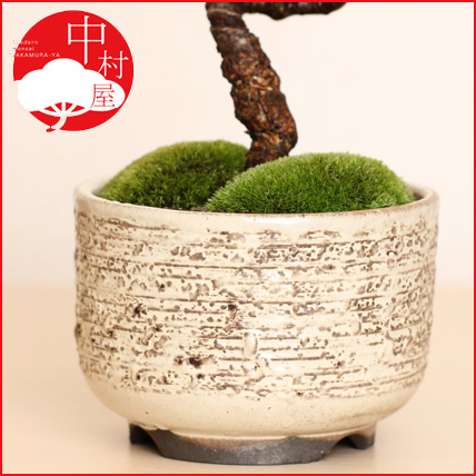 White Ware Change Pine Skin Marunaka Deep M Bonsai Pot Gift Giveaway