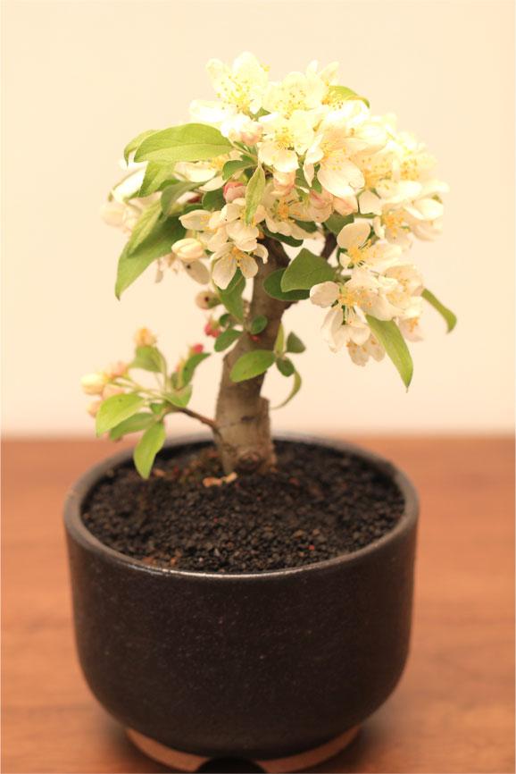 Miyamakaidu Shigaraki-yaki bonsai No. 4 equivalent size presents and gifts too! In the Miyama aronia Miyama crabapple bonsai Gifts-Gift