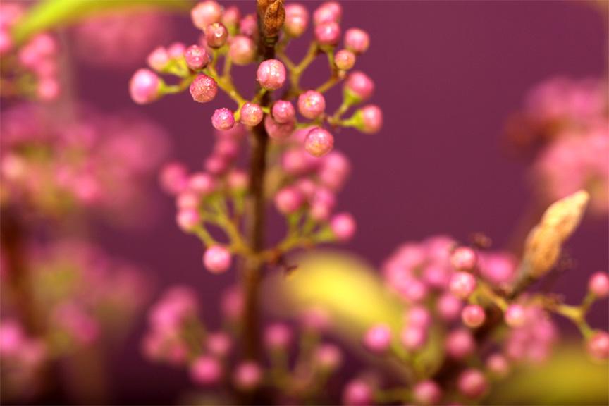 紫式部正宗盆景长崎三腿盆紫珠礼品和礼物太 !