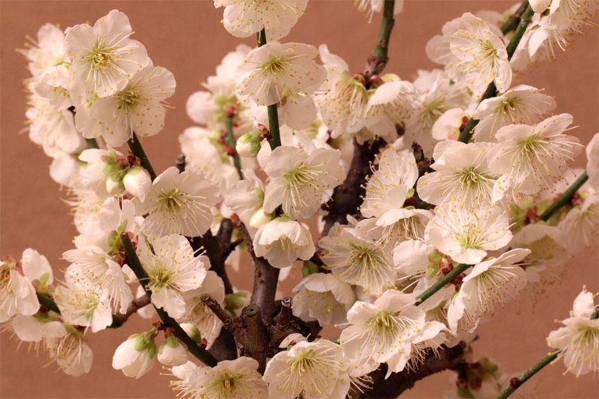 Nakamurabonsai rakuten global market 2016 with flowering plum 2016 with flowering plum tree winter solstice snow white plum flowering plum noble aroma of jiki japanese apricot bonsai gift giveaway mightylinksfo