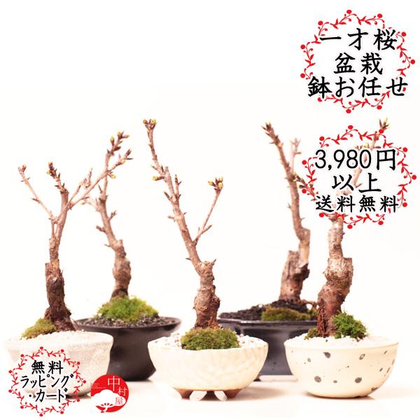 一位年岁樱桃朝日一流樱桃盆景花盆的类型和离开讨价还价回家花桌面盆景妖妖盆景