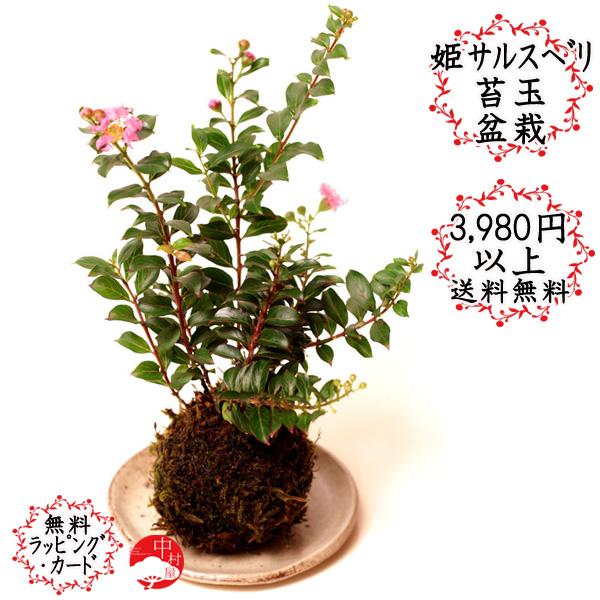 3,980円以上のお買い物で送料無料カワイイ夏の花盆栽♪ 姫サルスベリの苔玉 百日紅 暑さに強く敬老の日プレゼント ・お敬老の日ギフトにも!
