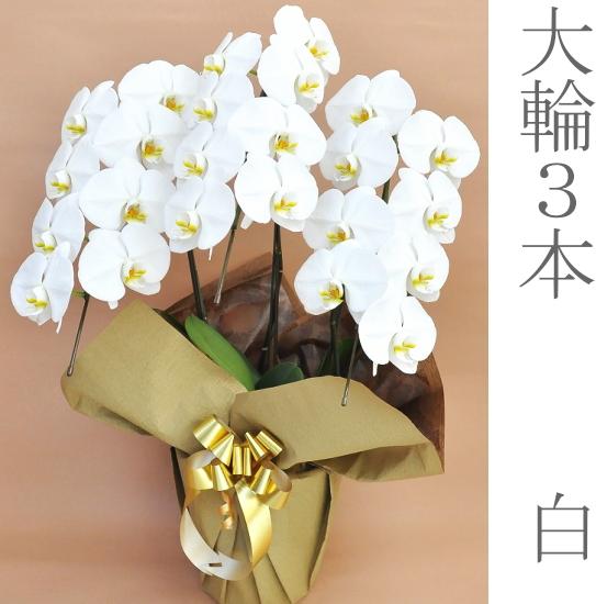 【送料無料】胡蝶蘭大輪3本立て 白02P01Oct16