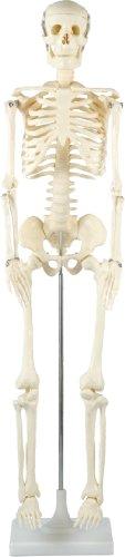 アーテック △人体骨格模型 85cm 8850 4521718088501